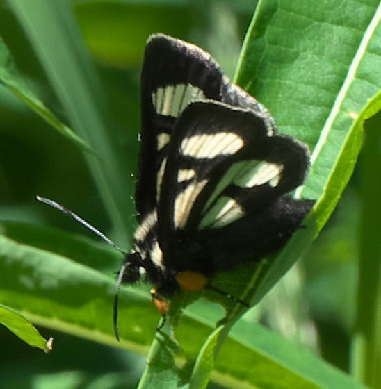 Black and white moth - Androloma maccullochii