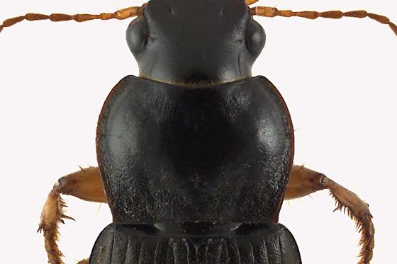 Ground beetle - Harpalus rufipes
