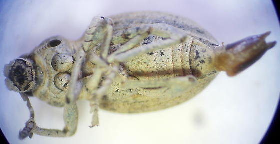 Weevil - Ophryastes