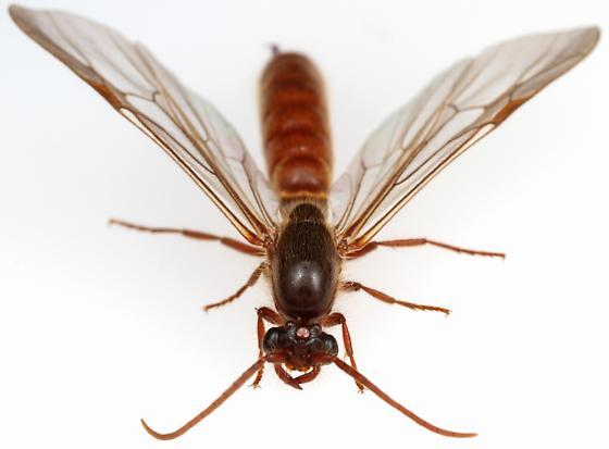 Male, Neivamyrmex opacithorax? - Neivamyrmex harrisi - male