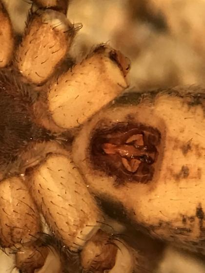 Lycosid that I can't seem to figure out - Pardosa concinna - female