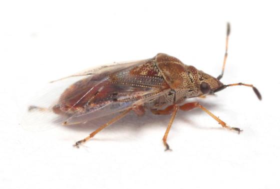 Lygaeidae, Birch Catkin Bug, lateral - Kleidocerys resedae