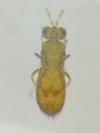 Trichogrammatidae, dorsal