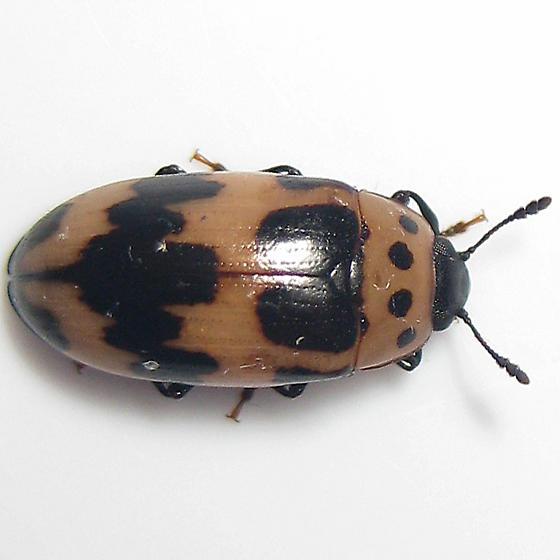 Four-Spotted Fungus Beetle - Ischyrus quadripunctatus