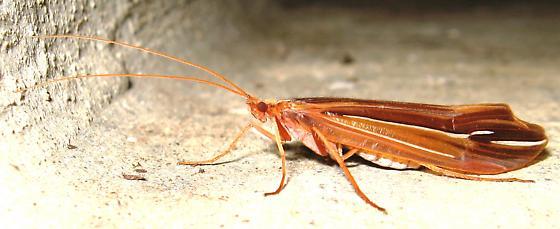 Silverstreak Caddisfly - Psychoglypha