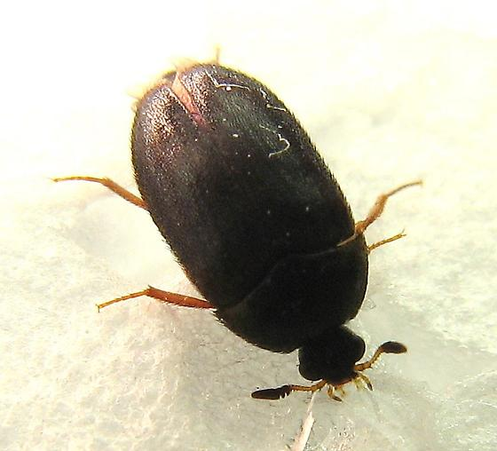 Black bed bugs with wings - photo#5