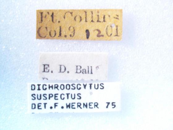 Dichrooscytus suspectus - female