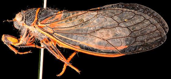 Putnam's Cicada, adult lateral - Platypedia putnami