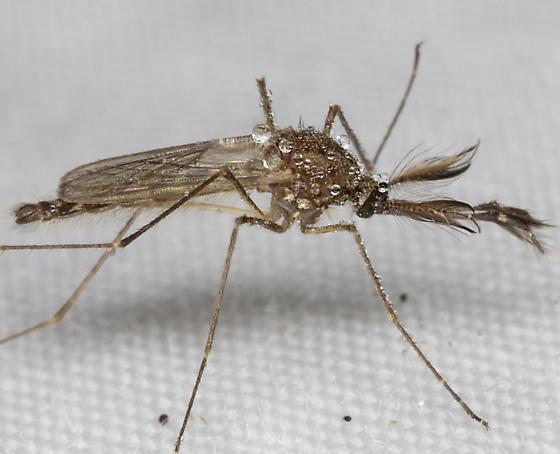 Mosquitoe IMG_4721 - male