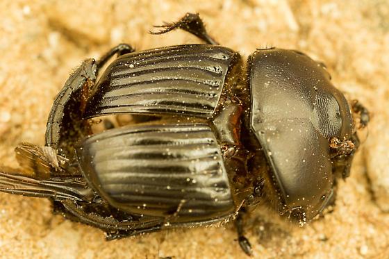 Phanaeus triangularis - female