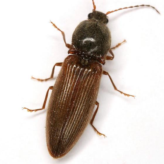 Hemicrepidius hemipodus (Say) - Hemicrepidius hemipodus