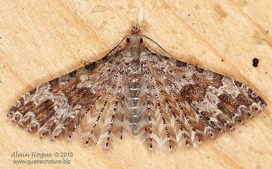 Moth - Alucita