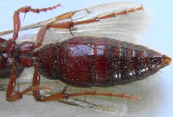 2nd Tiphiid Wasp (ventral abdomen) - Colocistis crassa - male