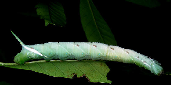 Sphinx larva - Protambulyx strigilis