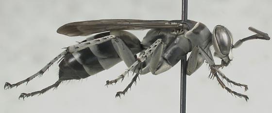 Grey Wasp - Aporinellus