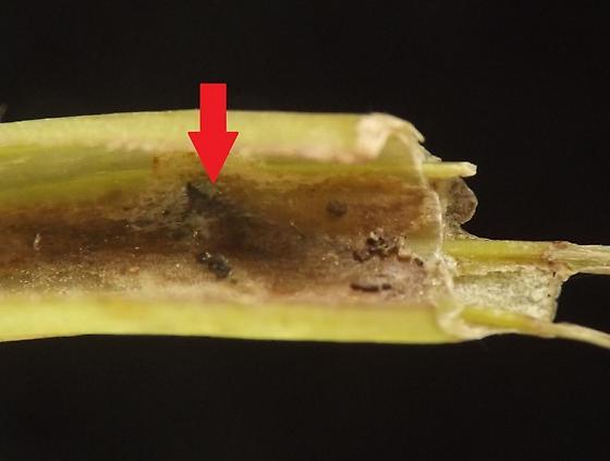 Petiole miner, Symphyotrichum - Ophiomyia