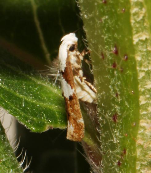 Momphidae, on Evening Primrose, ovipositing - Mompha circumscriptella - female