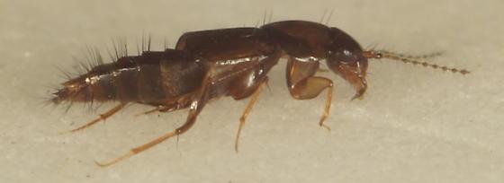 Unknown Staphylinidae - Habrocerus capillaricornis