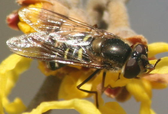 Fly on Witchhazel - Lapposyrphus lapponicus - female