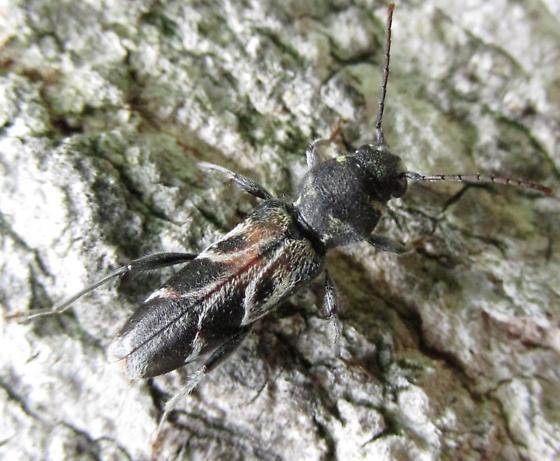 cerambycid - Xylotrechus aceris