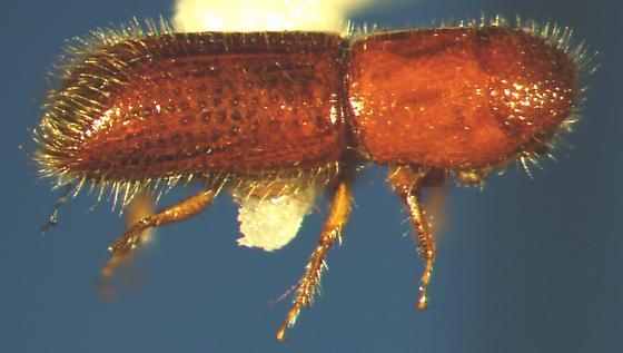 Scolytinae - Dryoxylon onoharaense