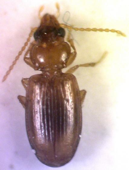 Tiny beetle - Tachys