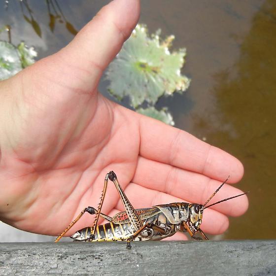 Romalea microptera - Eastern Lubber Grasshopper - Romalea microptera - female