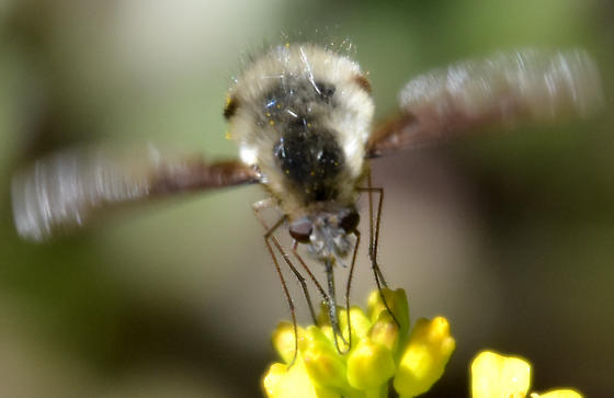 Beefly - as if cross between Hemipenthes and Systoechus - Bombylius major