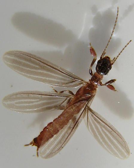 Embiidina #5 for ID - Oligotoma nigra - male
