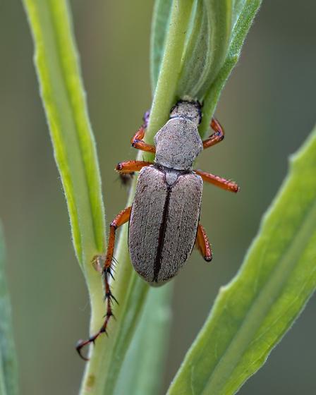 Lincoln beetle - Macrodactylus uniformis