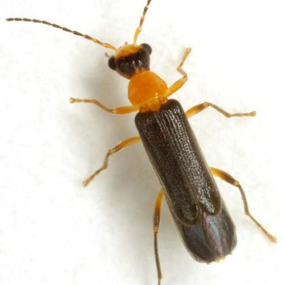 Malthinus occipitalis atripennis LeConte - Malthinus occipitalis
