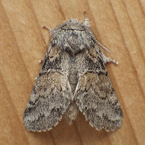 Notodontidae: Gluphisia septentrionis - Gluphisia septentrionis
