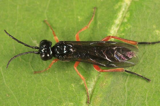 small sawfly - Ametastegia glabrata - male