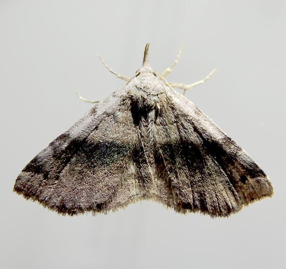 Spargaloma sexpunctata  - Spargaloma sexpunctata