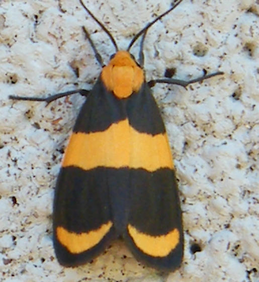 orange and black moth - Eudesmia arida