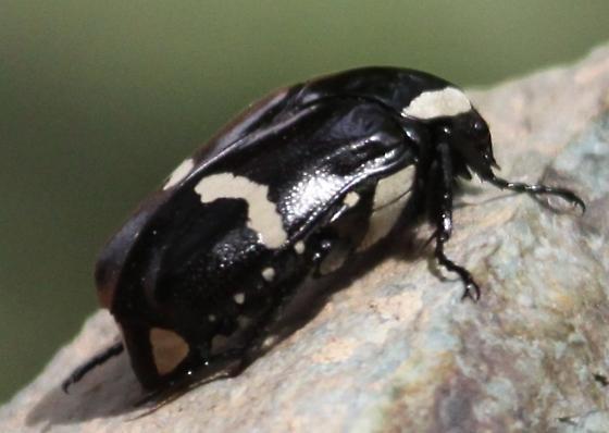 Scarab beetle - Gymnetina howdeni