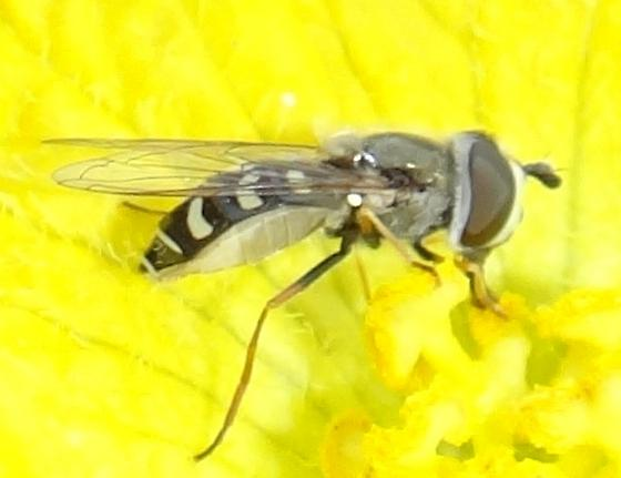 Syrphid fly side view - Eupeodes volucris