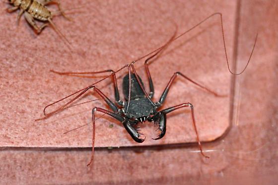 Tail-less Whip Scorpion - Paraphrynus carolynae