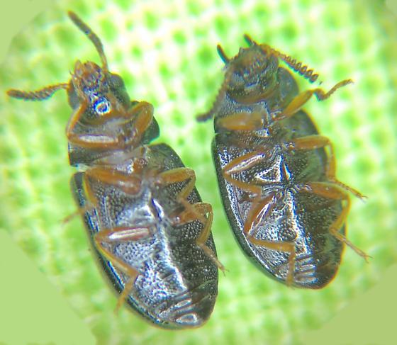 TENEBRIONIDAE   Neomida bicornis   Darkling beetle - Neomida bicornis