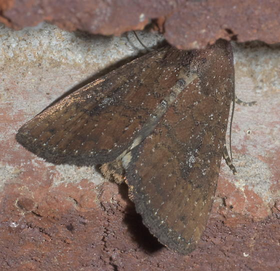 Brown moth with some white dots - Condica sutor
