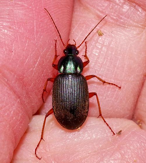 Found this small beetle in rotten wood - Chlaenius texanus