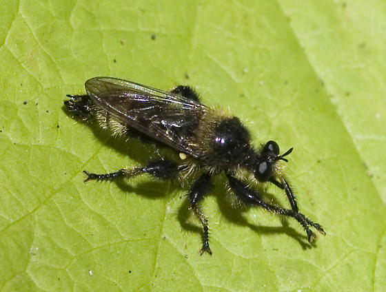 Washington robber fly for Herschel - Laphria columbica - male