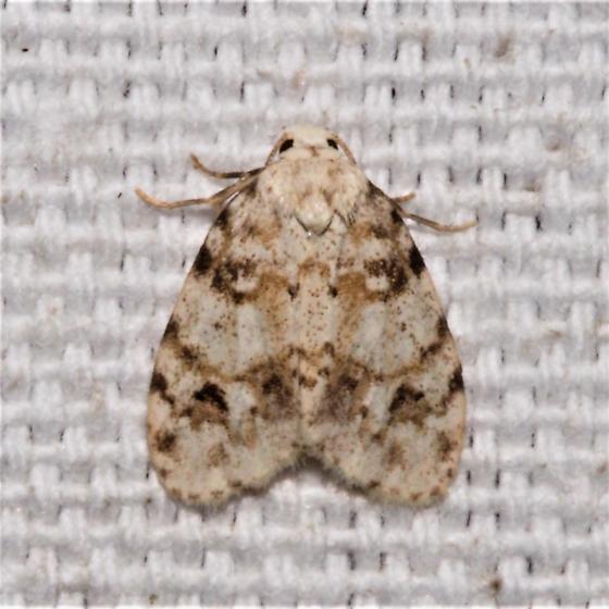 ID Request - Clemensia albata  - Clemensia albata