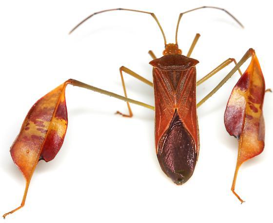 Flag-footed Bug - Anisoscelis affinis