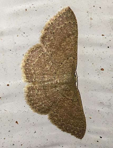 Pleuroprucha insulsaria - Common Tan Wave - Hodges#7132 - Pleuroprucha insulsaria
