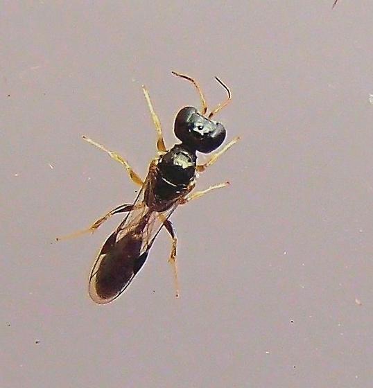 Wasp - Stigmus