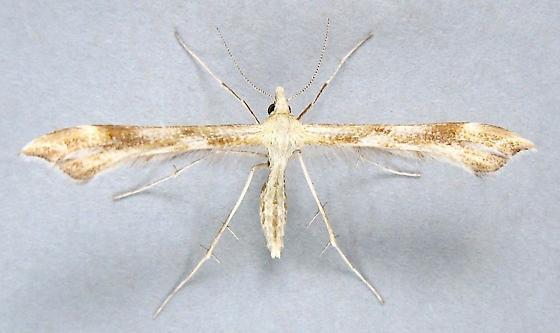 Plume Moth - Gillmeria pallidactyla