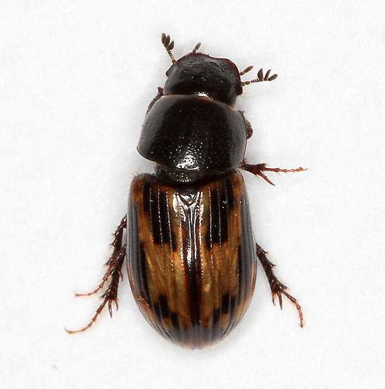 small brown scarab - Aphodius distinctus