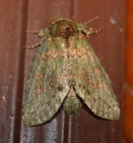 Prominent Moth - Heterocampa biundata