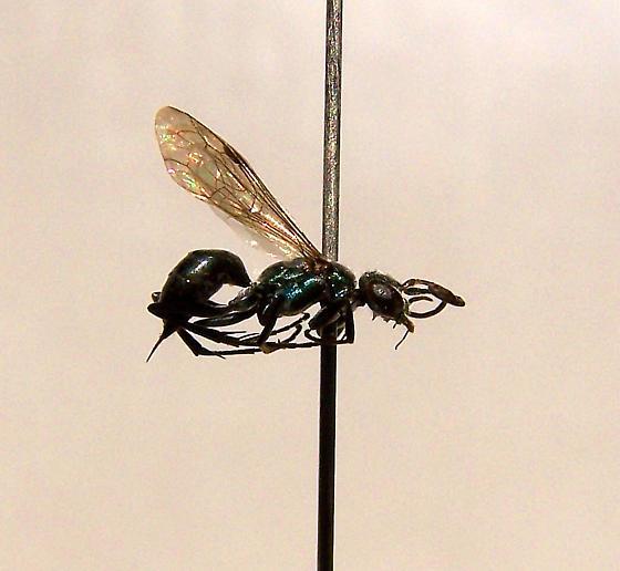 Auplopus caerulescens - female